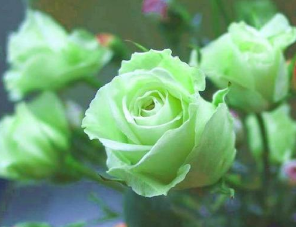 八月十四绿色情人节送什么?绿色玫瑰了解一下