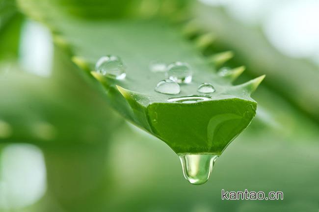 芦荟胶是万能的吗 芦荟胶的美容用法有哪些?